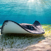 This Southern Stingray swims over a seagrass bed at dawn in Grand Cayman.