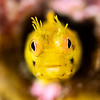 Golden Rough-Head Blenny - Front View