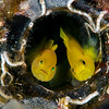 A Pair of Ornate Gobies in a Bottle
