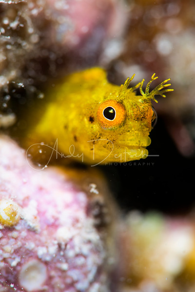 Golden Rough-Head Blenny Peeks Out