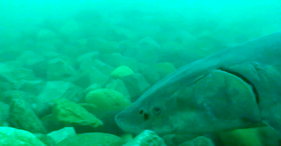 Lake sturgeon observed spawning on a completed spawning reef project in the St. Clair River.