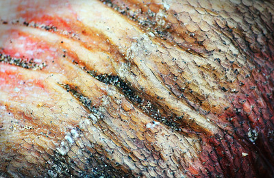 Up-close shot of a decaying salmon skin with the lateral line still present