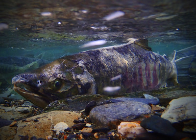 A Chum salmon swimming upstream outside of Juneau, Alaska