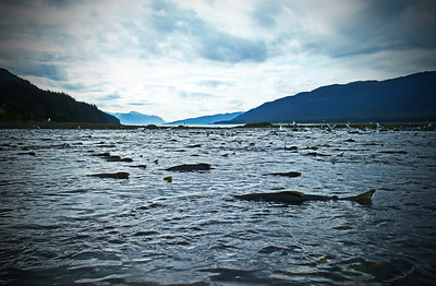 Hundreds of chum salmon returning upstream outside of Juneau, Alaska