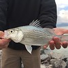 White bass at Utah Lake