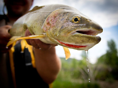 A Bonneville cutthroat trout, Oncorhynchus clarkii, out of the Weber River. Photo by Ben Nadolski, Utah Division of Wildlife Resources.
