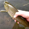 Weber River brown trout.