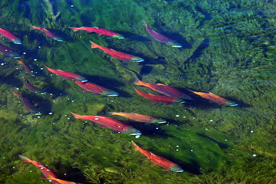 Spawning kokanee salmon in Utah's Strawberry River near Strawberry Reservoir