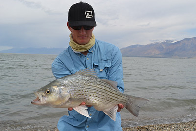 A 23-inch, 6.5-pound wiper caught at Willard Bay. Photo taken 4-12-14, Phil Tuttle, Utah Division of Wildlife Resources.