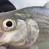 White bass close-up
