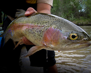 A Weber River rainbow trout. Photo by Ben Nadolski, Utah Division of Wildlife Resources.