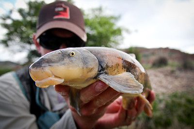 A bluehead sucker, Catostomus discobolus, out of the Weber River. Photo by Ben Nadolski.