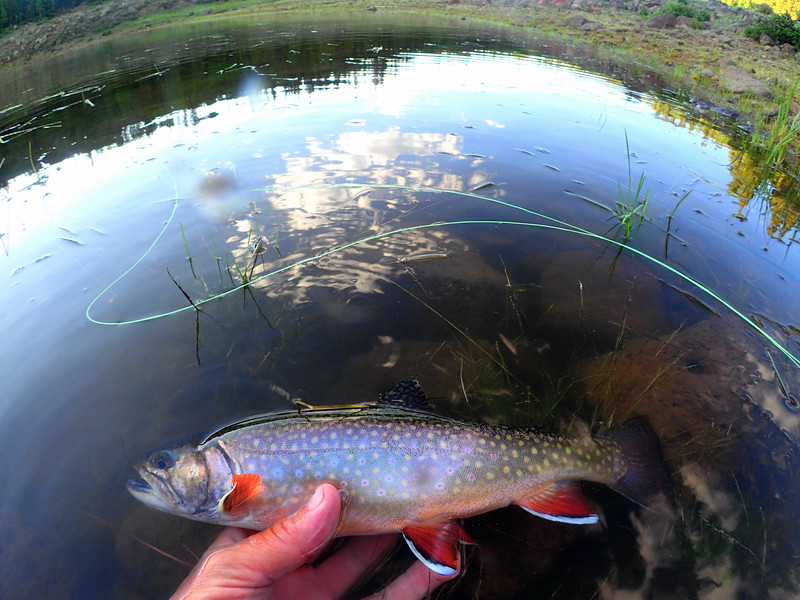 Brook trout on Boulder Mountain