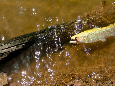 If you fish at Steinaker Reservoir this spring, you might catch one of these — an albino rainbow trout. Photo courtesy of Ron Stewart, Utah Division of Wildlife Resources, 4-20-2010.