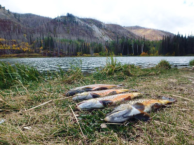 Tiger trout caught out of Willow Reservoir above the town of Ferron. Photo taken Sept. 2015 by Calvin Black, Utah Division of Wildlife Resources.
