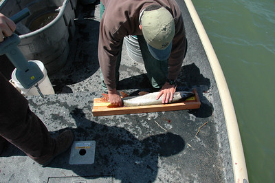 Don Wiley measuring a northern pike at Yuba Reservoir, Utah.  Photo by Ray Schelble.