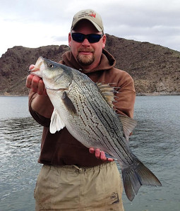 Utah Division of Wildlife Resources fisheries biologist Mike Hadley shows off a seven-pound wiper caught and released during a trend net survey at Newcastle Reservoir on March 26, 2014.