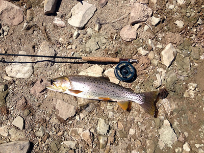 A spring cutthroat trout caught at Strawberry Reservoir in May, 2013. Photo by Mike Slater, Utah Division of Wildlife Resources.