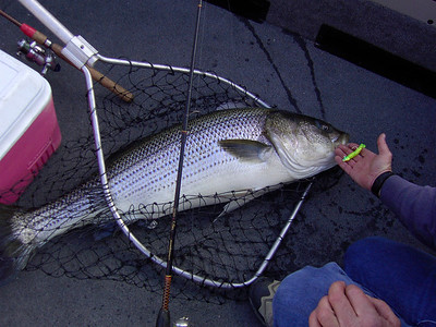 Huge 32.5 lb. striper in a net, caught 1-29-01 at Lake Powell.  By Utah Division of Wildlife Resources