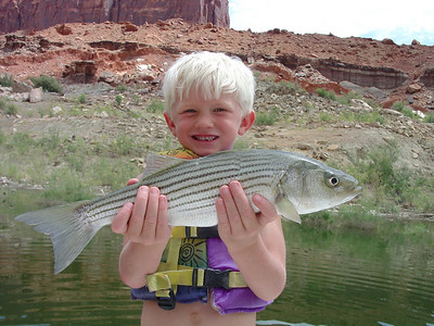 Marc Maxfield, 5-year-old from Kanosh, Utah, caught this nice striper from surface feeding boils near Hite on Lake Powell on 8-13-08.  Photo by Utah Division of Wildlife Resources.