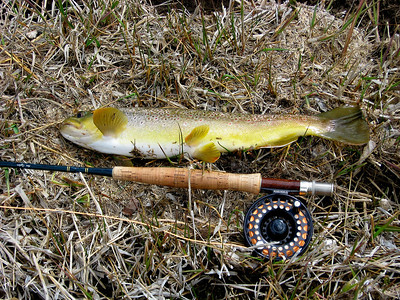 Brown trout alongside fly pole at Lower Fish Creek.  Caught and photographed by Tom Ogden on 5-5-08.