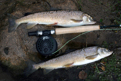 Mountain whitefish are common in Utah' streams  Photo taken 8-17-05 by Phil Douglass.