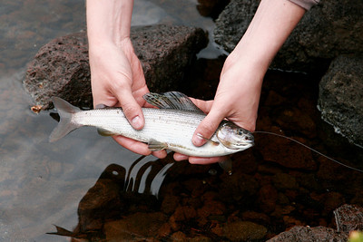 arctic grayling catch in the Boulder Mountains Utah, summer 2008
