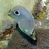 FOUREYE BUTTERFLY FISH BY TOM SEDAR ©