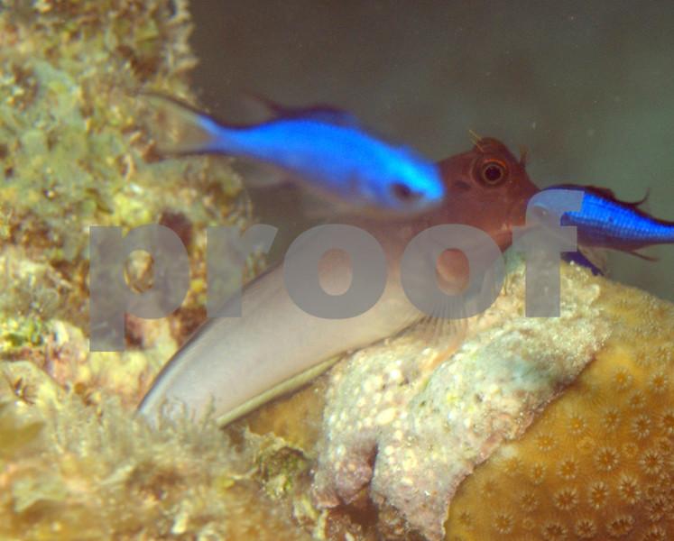 REDLIP BLENNY AND BLUE CHROMIS ON STAR CORAL