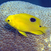 THREESPOT DAMSELFISH JUVENILE