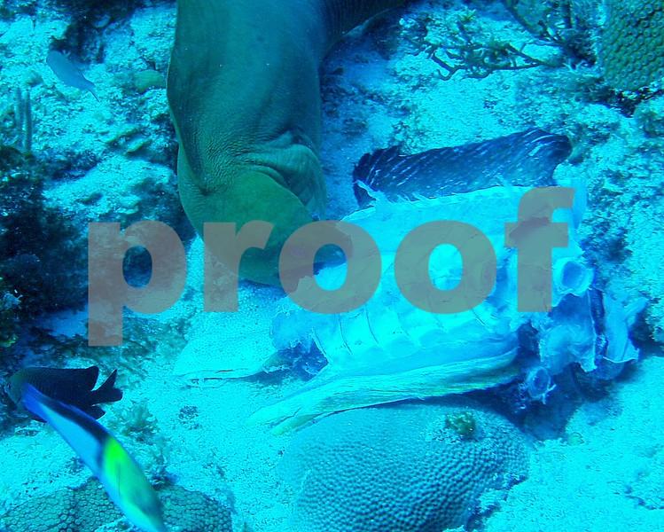 LARGE GREEN MORAY FEEDING ON A BIG HUNK OF  FISH