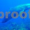 DOLPHIN VISITOR AT MORNING STAR ST. CROIX USVI by Tom Sedar  seadogpics.com