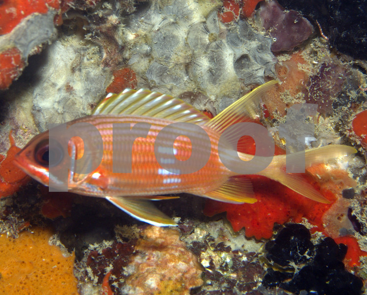 LONGSPINE SQUIRRELFISH, THIS SQUIRRELFISH CAN BE IDENTIFIED BY THE WHITE TRIANGULAR MARKINGS ON THE ENDS OF THE DORSAL FIN SPINES.