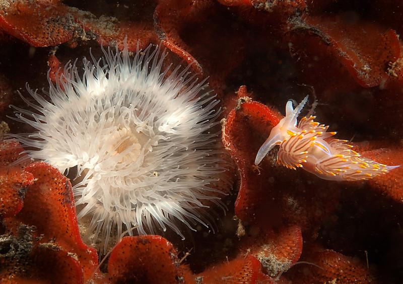 Metridium Anemone & Nudibranch