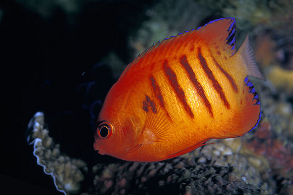 flame angelfish, Centropyge loriculai, <br /> Big Island of Hawaii  (Central Pacific Ocean)<br /> 1