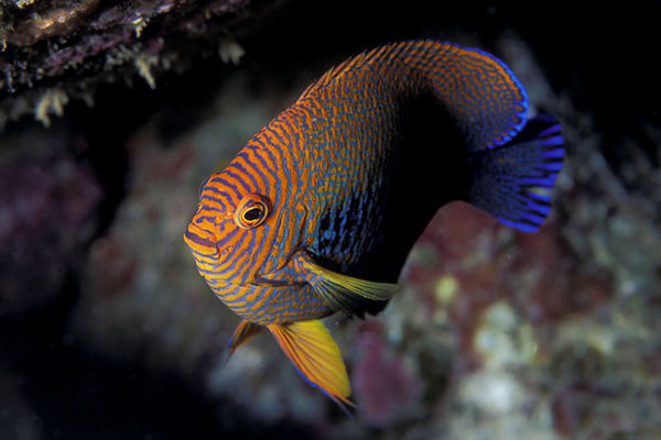 Potter's angelfish, Centropyge potteri, <br /> Big Island of Hawaii  (Central Pacific Ocean)<br /> 1