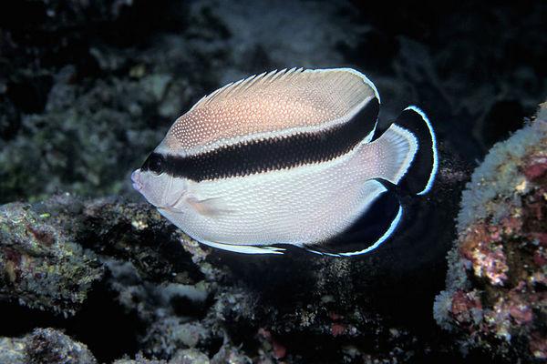 bandit angelfish, Apolemichthys arcuatus , <br /> Honaunau Bay, Big Island of Hawaii  (Central Pacific Ocean)<br /> 1