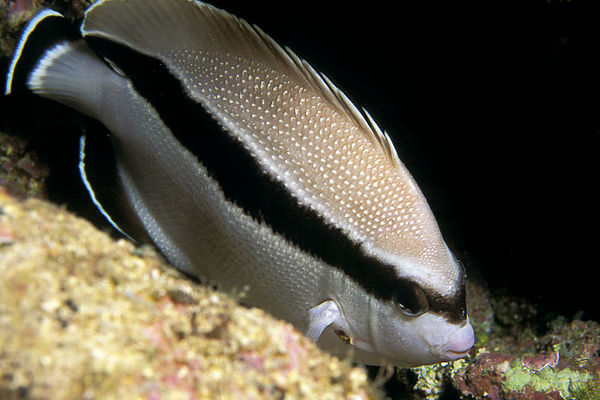 bandit angelfish, Apolemichthys arcuatus , <br /> Okoe Bay, Big Island of Hawaii  (Central Pacific Ocean)<br /> 1