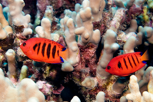 pair of flame angelfish, Centropyge loricula, Big Island of Hawaii  (Central Pacific Ocean)