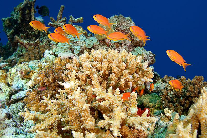 female scalefin anthias, Pseudanthias squamipinnis, Somosomo Strait, Fiji ( South Pacific Ocean )