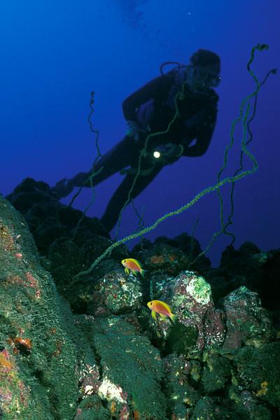 female longfin anthias, Pseudanthias ventralis ventralis, Kona Paradise, Big Island of Hawaii ( Central Pacific Ocean )