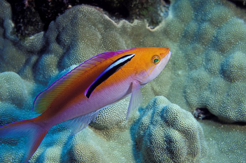 bicolor anthias, Pseudanthias bicolor,<br /> is cleaned by Hawaiian <br /> cleaner wrasse, Labroides phthirophagus,<br /> Big Island of Hawaii ( Central Pacific Ocean )<br /> 1