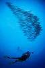 Photographer Bo Pardeau and school of Heller's barracuda, Sphyraena helleri, Big Island of Hawaii ( Central Pacific Ocean )