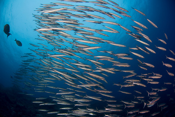 school of Heller's barracuda, Sphyraena helleri, Big Island of Hawaii ( Central Pacific Ocean )