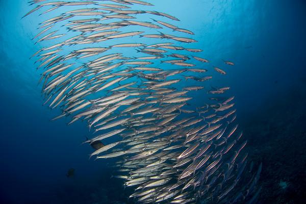 school of Heller's barracuda, Sphyraena helleri, Big Island of Hawaii ( Central Pacific Ocean )