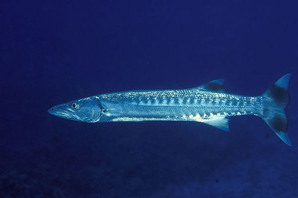 great barracuda, Sphyraena barracuda,<br /> Big Island of Hawaii ( Central Pacific Ocean )<br /> 1