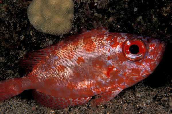 bigeye snapper, glasseye or 'aweoweo (H), Heteropriacanthus cruentatus,Okoe Bay,<br /> Big Island of Hawaii ( Central Pacific Ocean )<br /> 1
