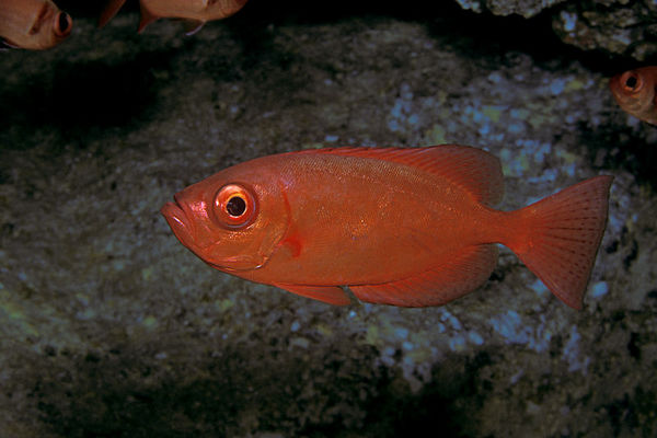 bigeye snapper, glasseye or 'aweoweo (H), Heteropriacanthus cruentatus, in a cave near Red Hill,<br /> Big Island of Hawaii ( Central Pacific Ocean )<br /> 1