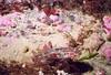 Blackeye Goby. Rhinogobiops nicholsii