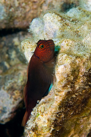 scarface blenny, Cirripectes vanderbilti, Hawaii ( Central Pacific Ocean )
